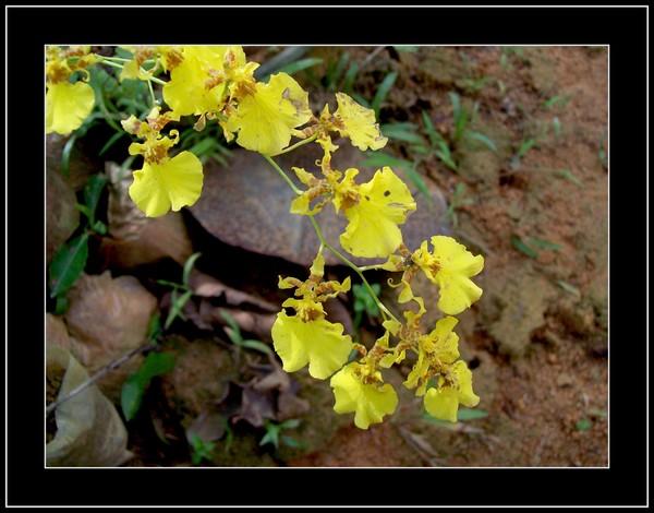Flower Kandyan Dancer