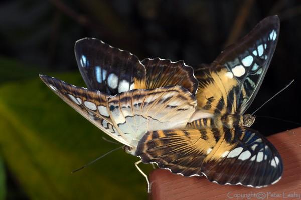 Clipper Butterflies