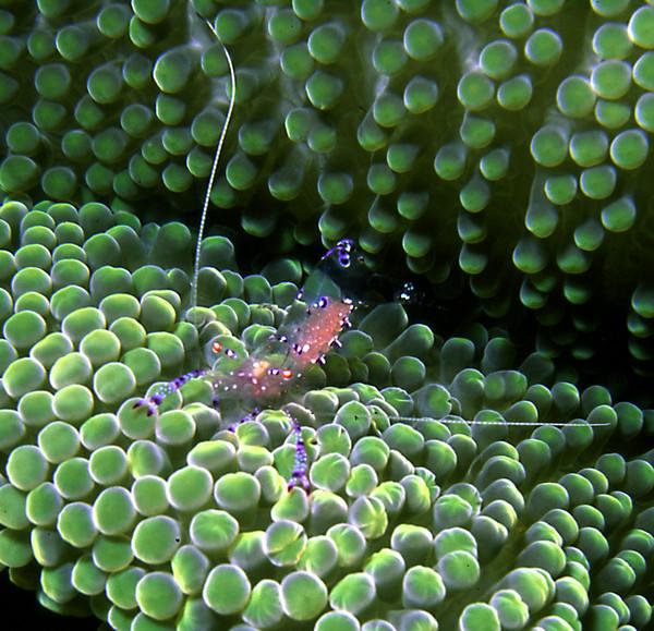 'Commensural shrimp'