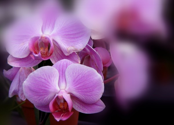 Lavender Toned Orchids (Two)