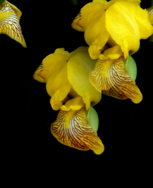 The Yellow Iris (Two)