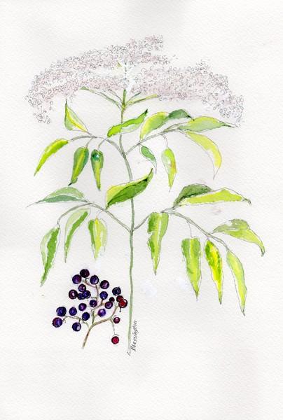 Elderberry Herb