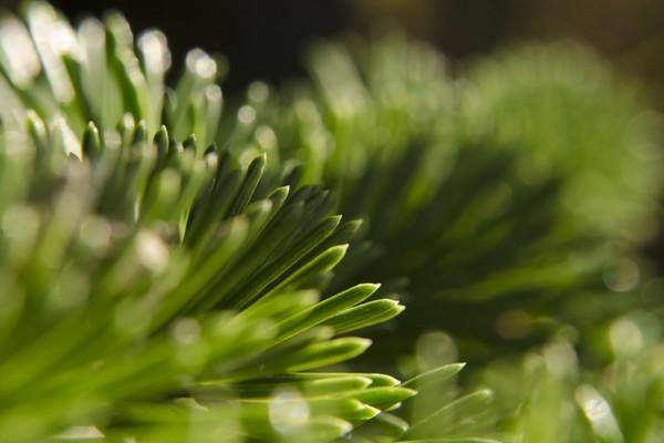 Pine Needles in the Sun