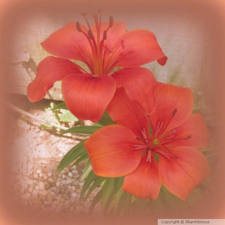 Celebration Lilies