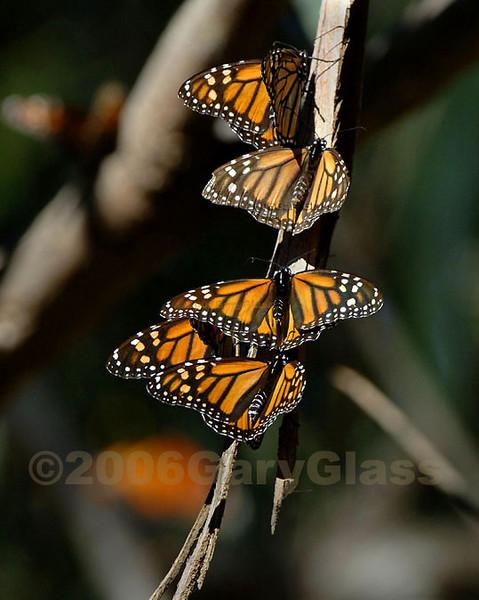 The Monarch Five