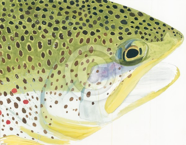 Brown trout watercolor