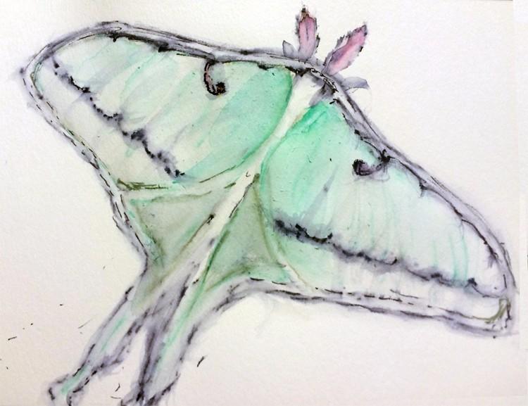 Actius Luna Moth Drawing