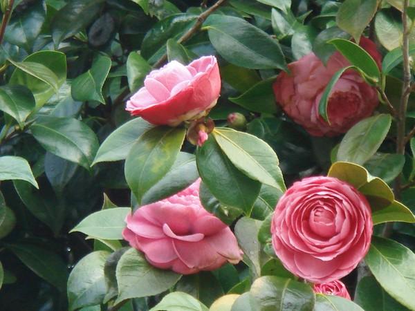 CAMÉLIAS - delicate Winter flowers