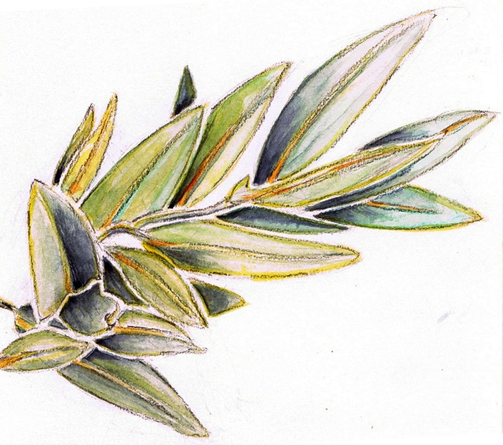 Bay Leaf Watercolor