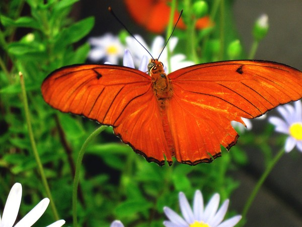 Orange Butterfly and Daisies