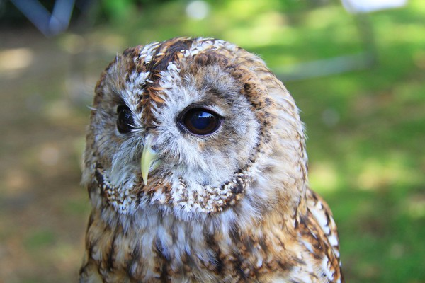 Tawny Owl (x2)