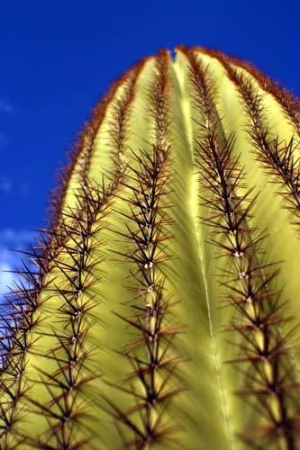 Saguaro Skyward