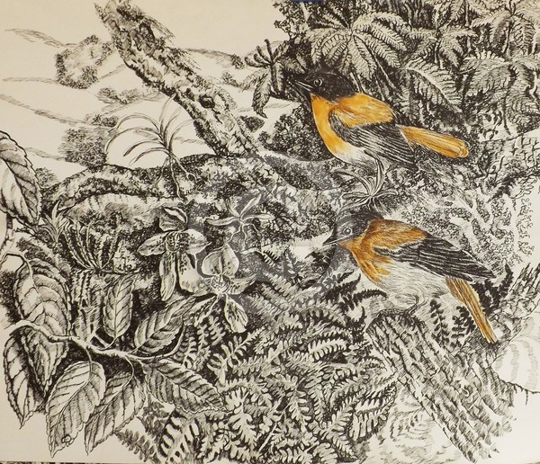 Black and Orange Flycatchers