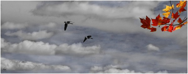 Geese in a Maple Sky