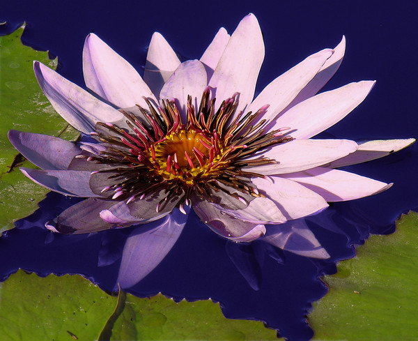 A Pretty Waterlily