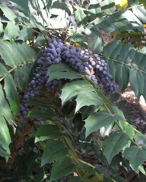 Grape Holly