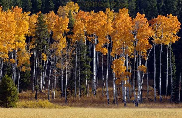 A Stand of Aspens in Autumn Colors