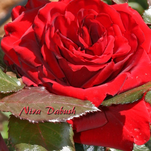 Soul of a Red Rose in Feb