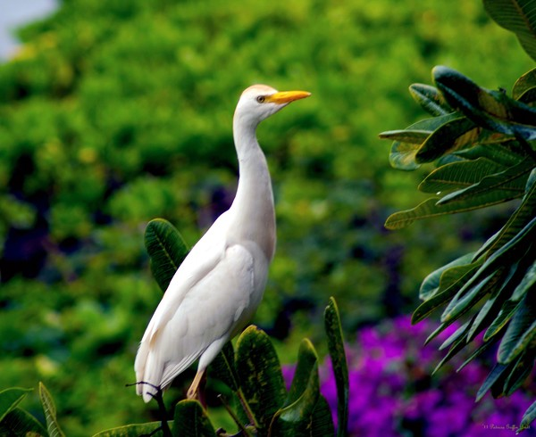 The Egret Outside My Window