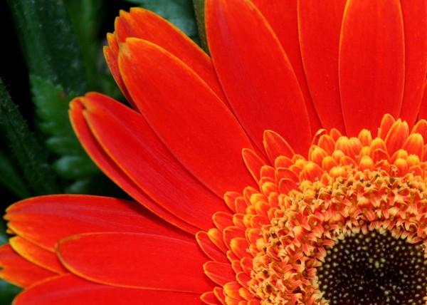 Gerbera Daisy in Brilliant Orange