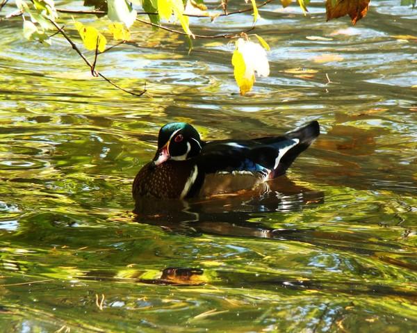 Wood Duck 1880 8x10