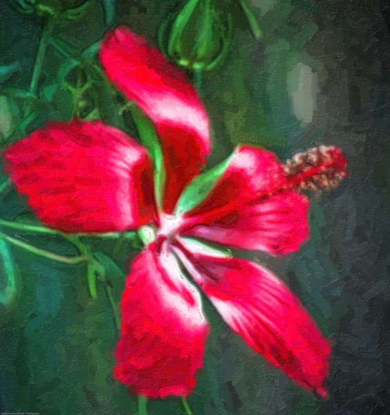 Portrait of Red Hibiscus