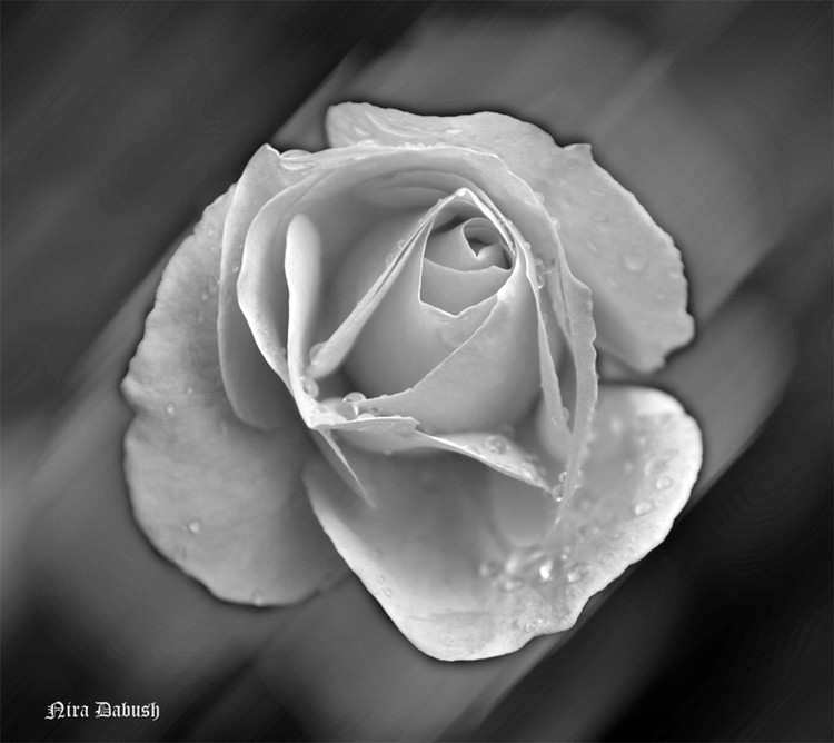 Sorrowful Rose