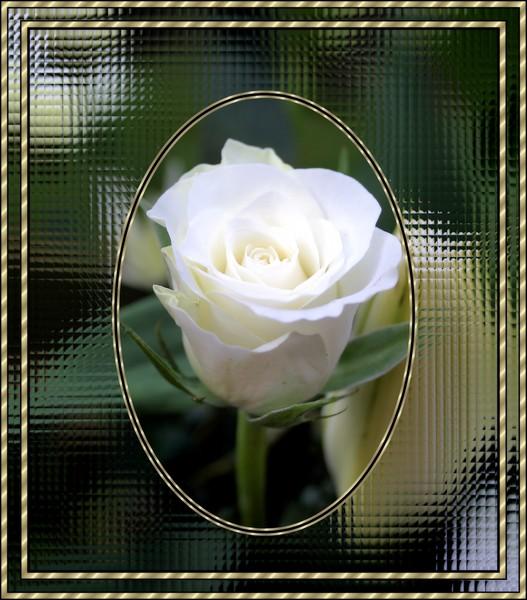 white rose framed