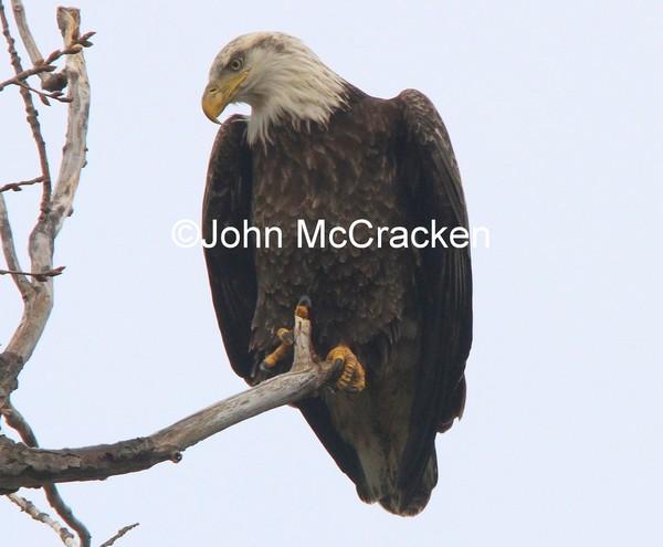 Adult Bald Eagle