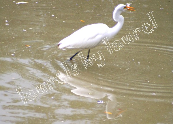 The Great White Egret and the Fish