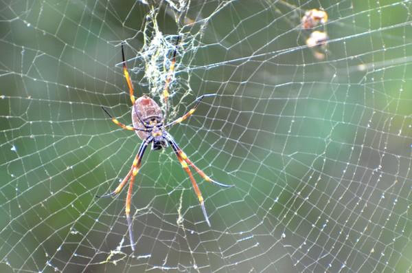 Under side of Golden Orb Weaving Spider