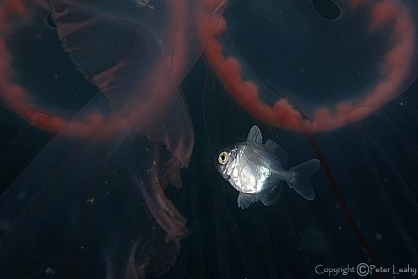 Jellyfish Fish