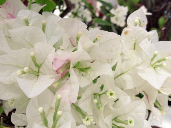 Cluster White