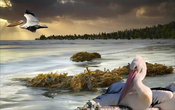1098-Pacific Pelicans Sunset
