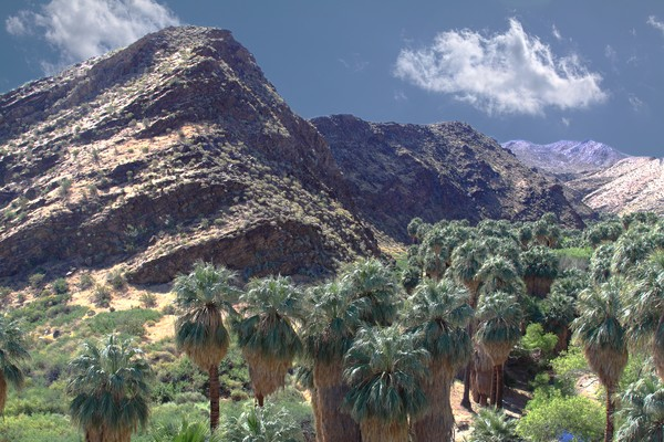 The Famous Palms of Palm Springs