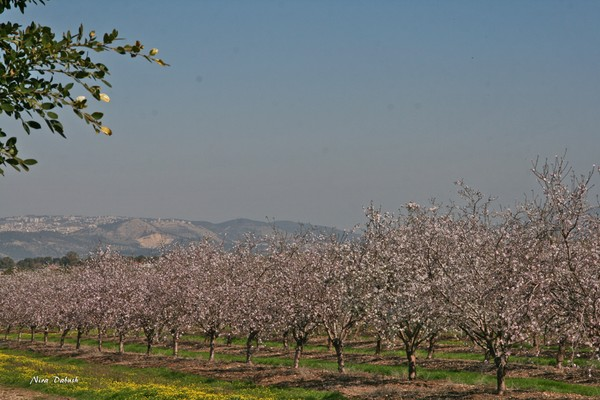Almonds in Perspective to Landscape