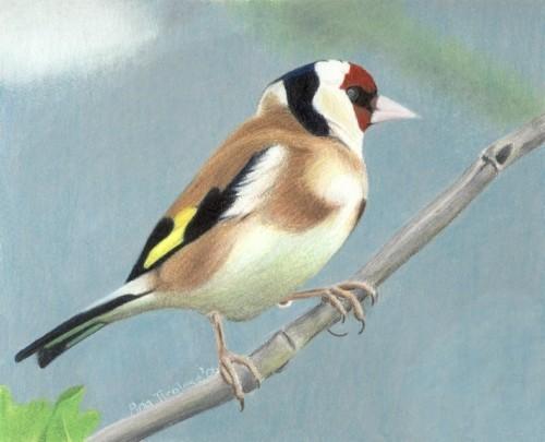 British Goldfinch