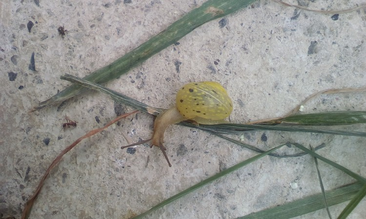 Small snail