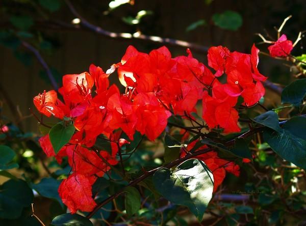 Red Bougainvellia