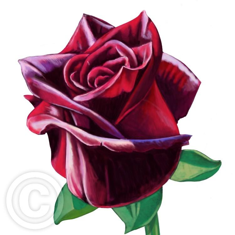 Blood Rose bud