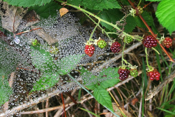 Dewy Web Among the Berries