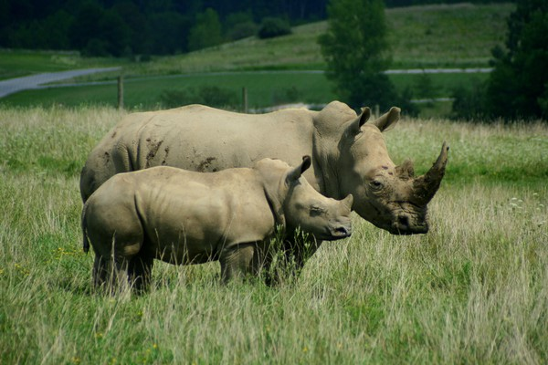 Southern White Rhino Mother and Baby