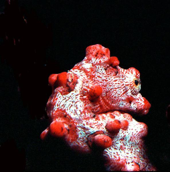Mini pygmy