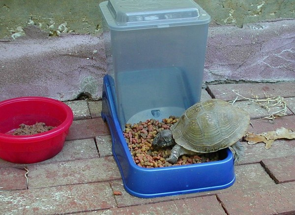 Pete baby Terrapin eating cat food
