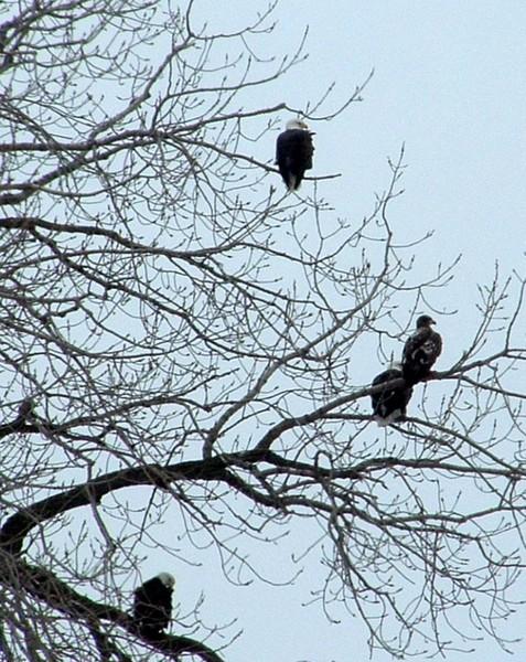 eagles b
