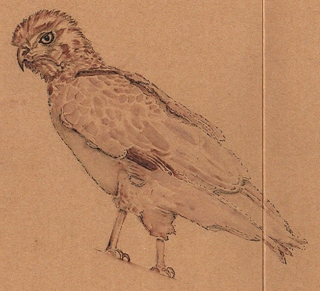 Brown Snake Eagle Drawing
