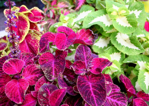 Coleus Leaves in Red Tones and Green