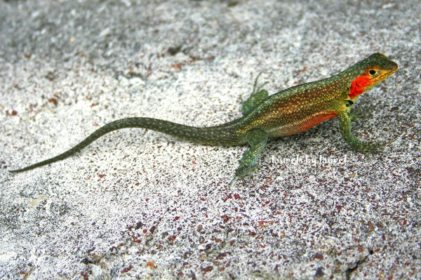 Lava LIzard in Santa Cruz
