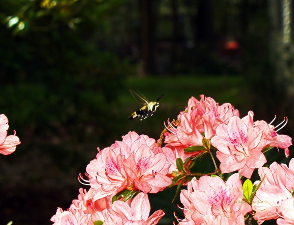 Snowberry Clearwing I