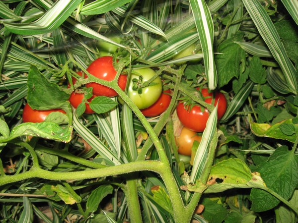 Japanese Tomatoes?